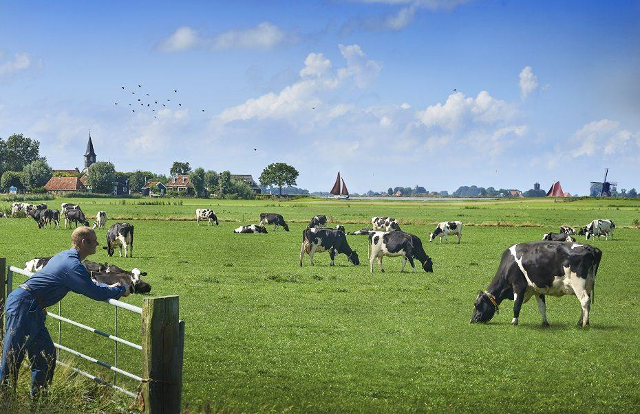 Meadow grazing FrieslandCampina